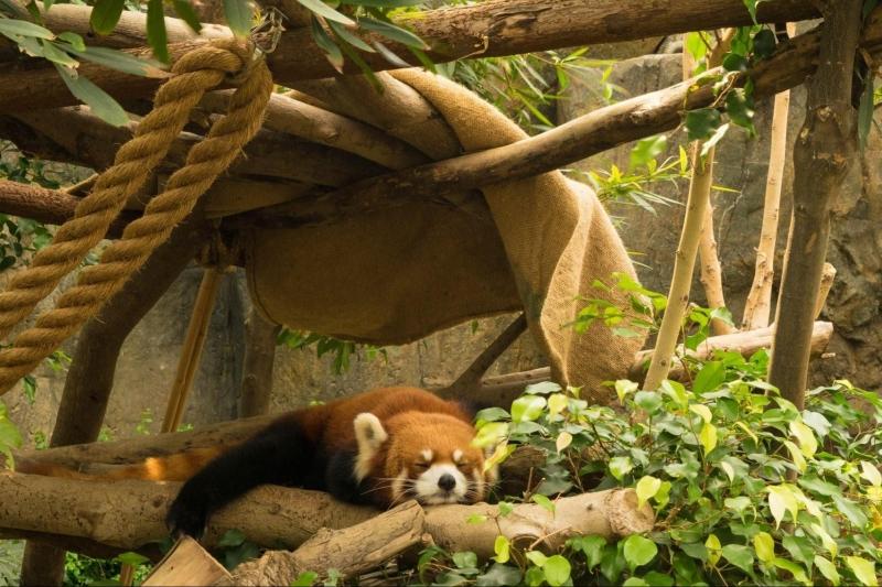 Red Panda at Ocean Park Hong Kong