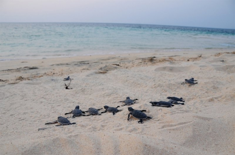 turtle hatchlings waddling towards the sea