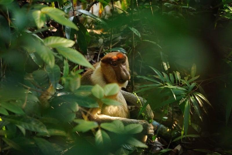 sighting of a proboscis monkey in bako national park