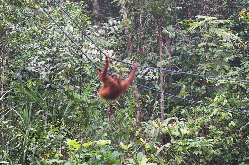 an orangutan swinging in the forest