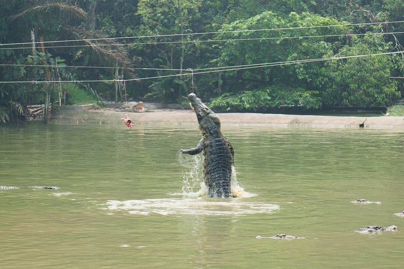a crocodile leaping out of the water