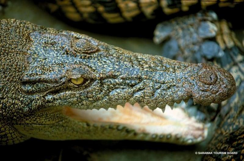 a crocodile at jong's crocodile farm