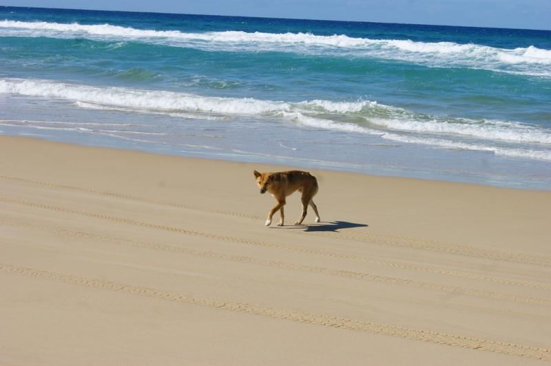 dingo on beach