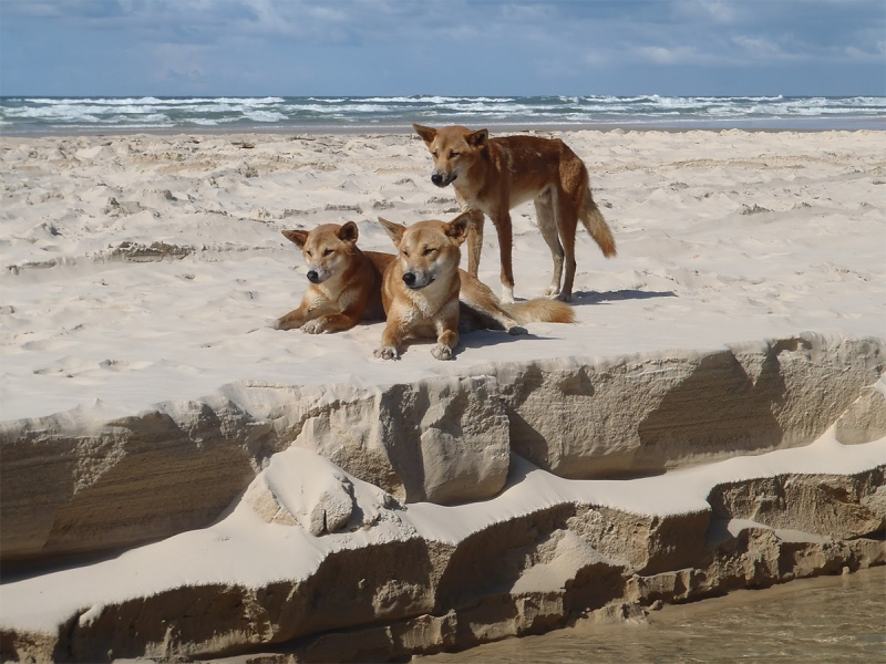 group of dingoes