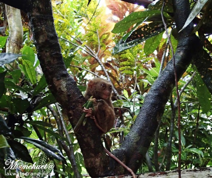 Tarsiers at Sagbayan Peak