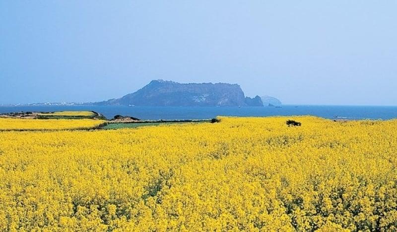 mùa xuân trên đảo Jeju