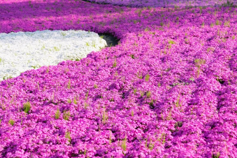 Flower Park in Japan: Fuji Motosuko Resort in Yamanashi