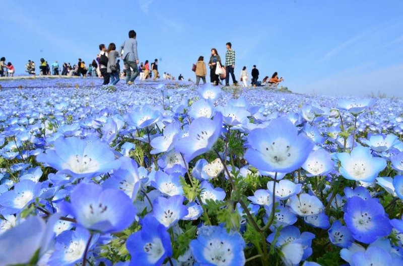 Flower Park in Japan: Hitachi Seaside Park
