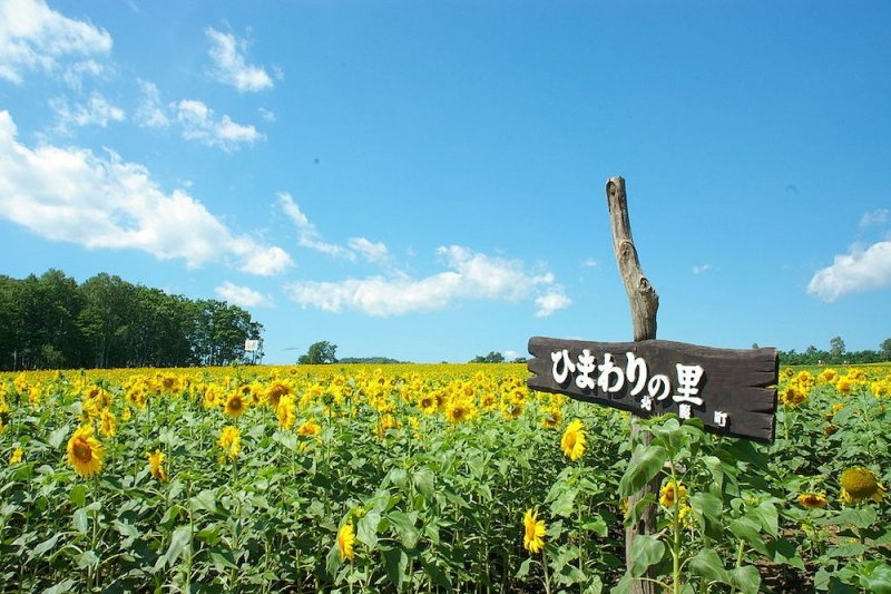 Flower Park in Japan: Hokuryu Sunflower Village
