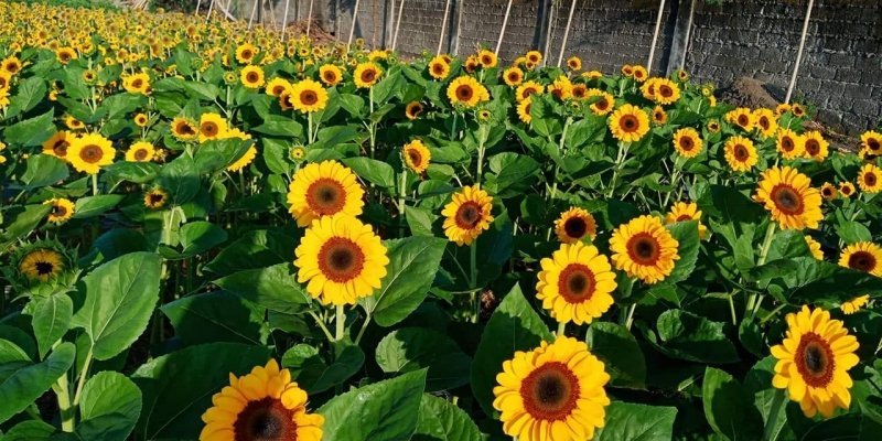 sunflower field candelaria quezon