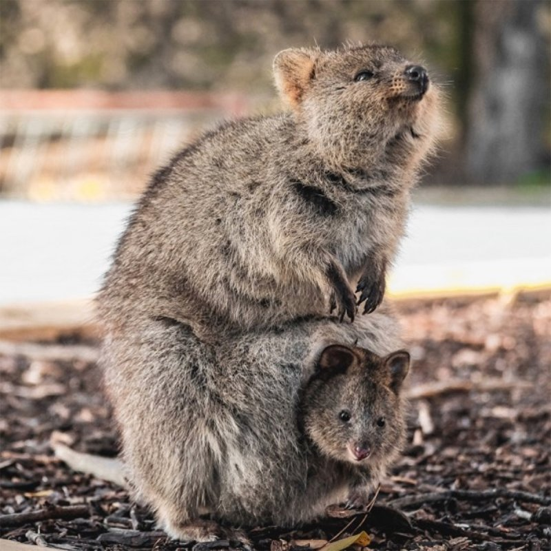 quokka and its baby