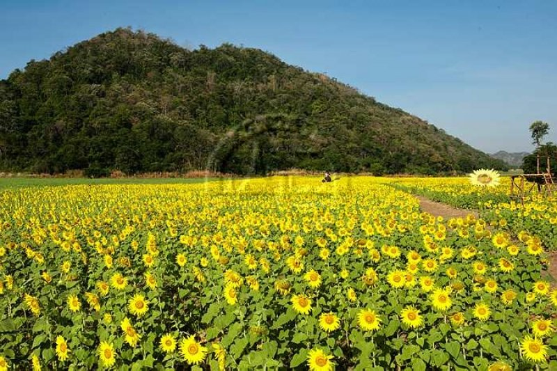 13 flower fields in southeast asia for that photoshoot youve always thailand sunflower fields saraburi mightylinksfo