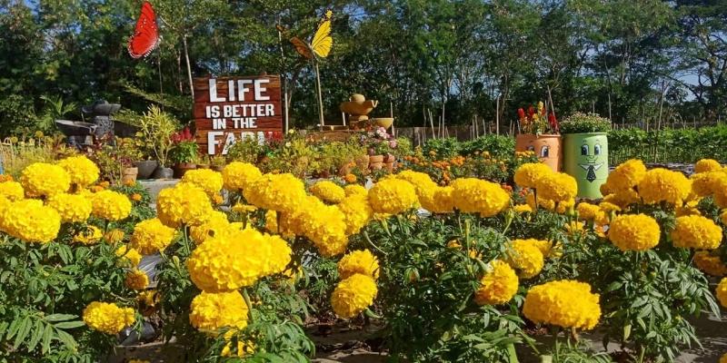 sunflower field candelaria quezon