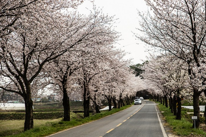 korea cherry blossoms