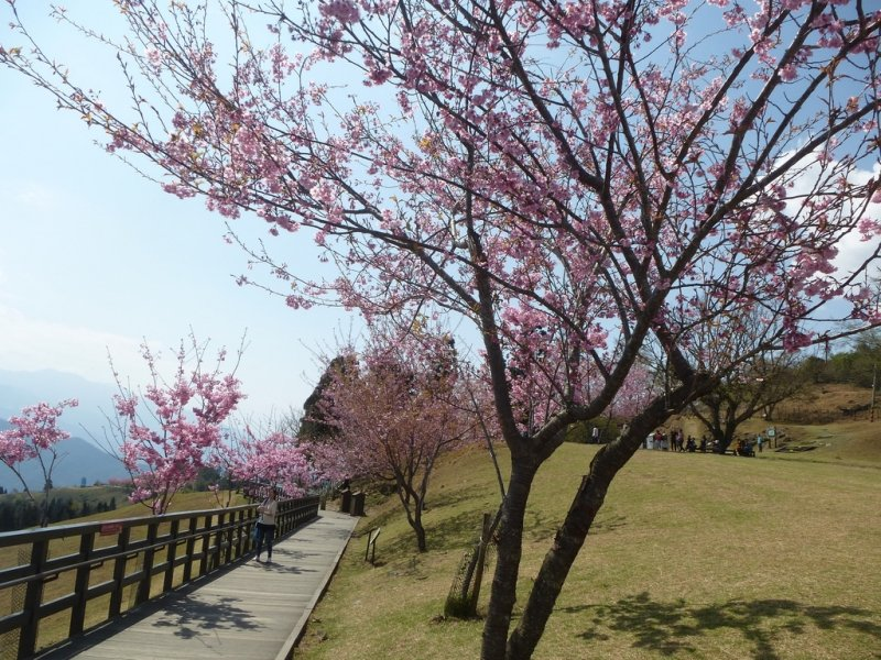 taiwan cherry blossoms forecast 2019
