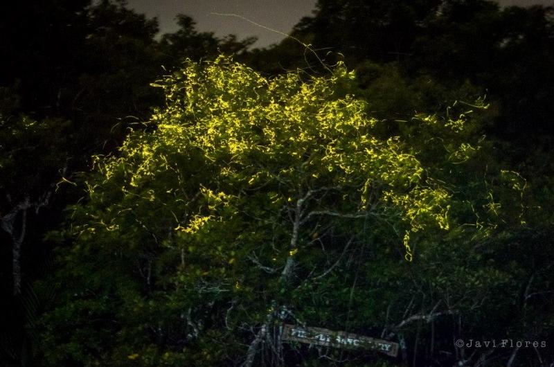 Chơi gì ở Philippines cây đom đóm ở Bohol