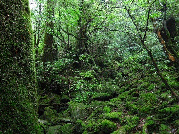 Yakushima Forest Japan