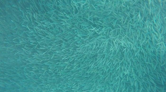 Sea of Sardines