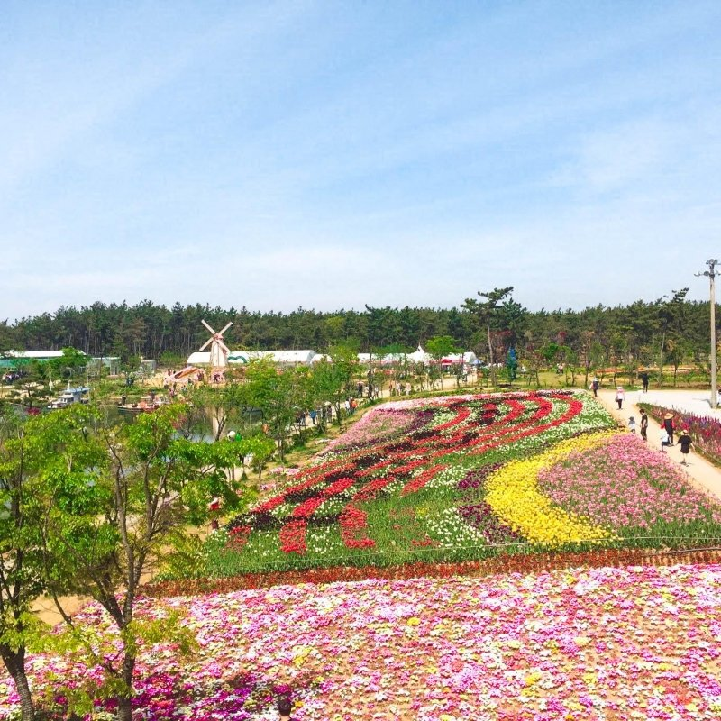 korea taean tulip festival