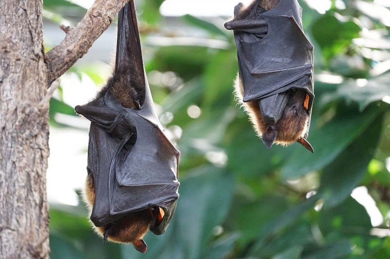 flying foxes hung upside down