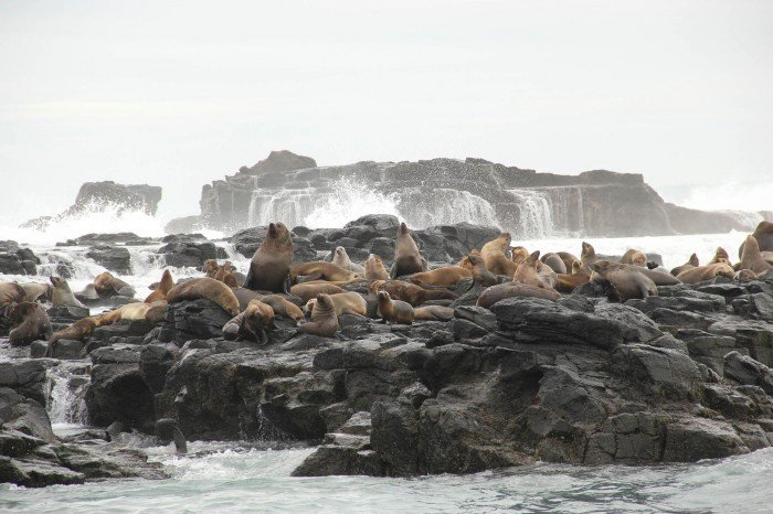 phillip island seals
