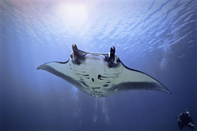 a diver trailing a manta ray