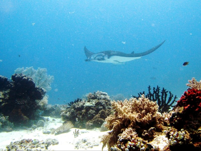 a manta ray swimming above the seabed