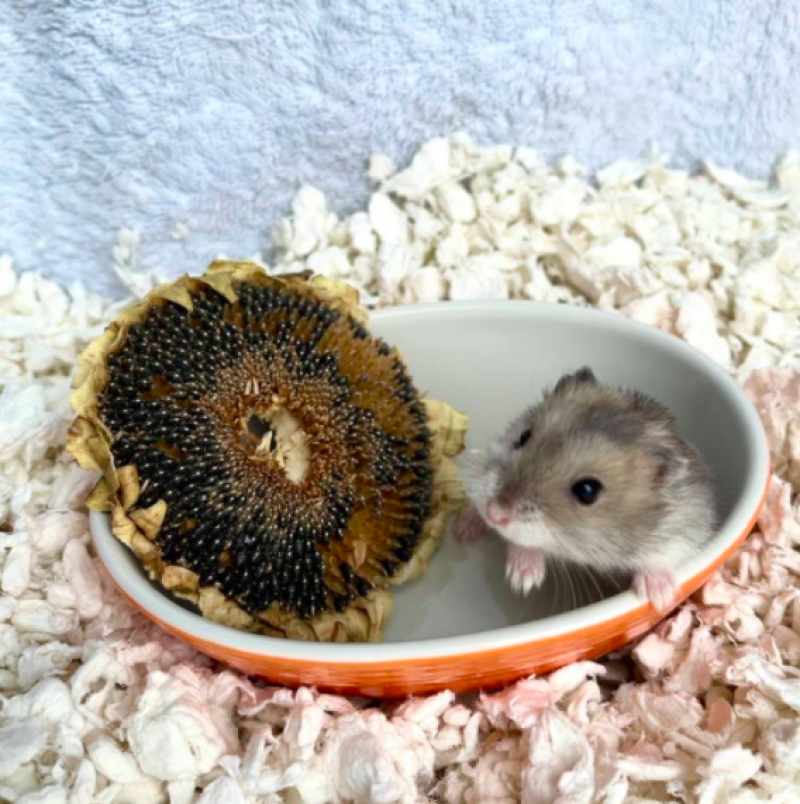 almond the hamster