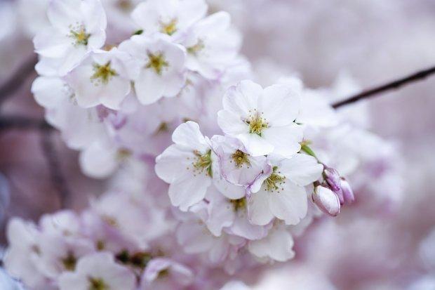 Hoa anh đào Nhật Bản Du Lịch Bụi Châu Á