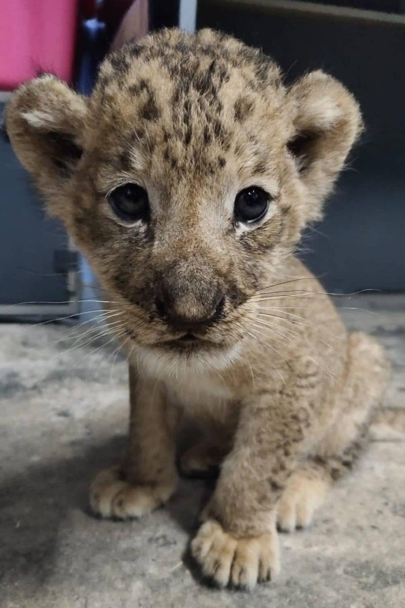 lion cub singapore