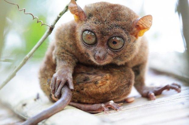 Khỉ Tarsius Du Lịch Bụi Châu Á