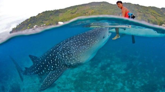 Whale Sharks of Oslob, Cebu