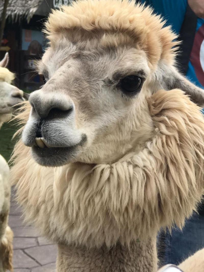 alpaca hill suan pheung