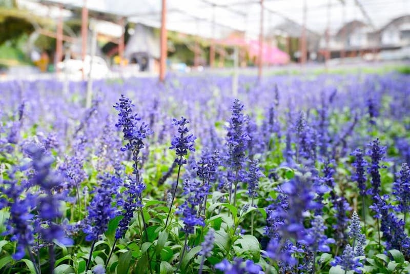visiting the lavender garden is one of the things to do in cameron highlands