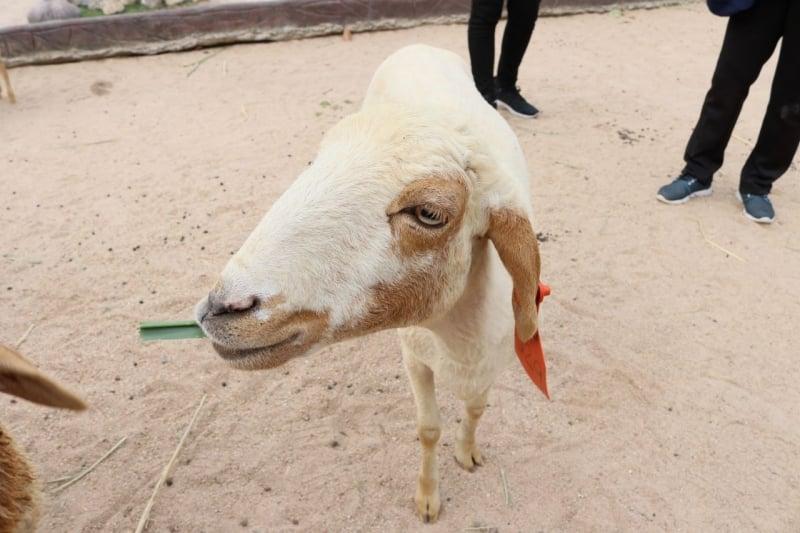 goat alpaca hill suan pheung