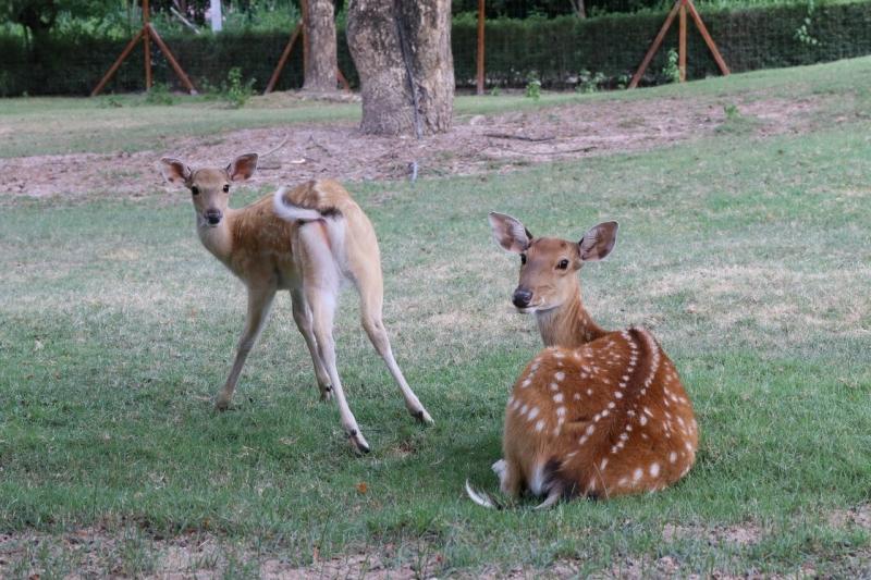 bambi deer alpaca hill suan pheung