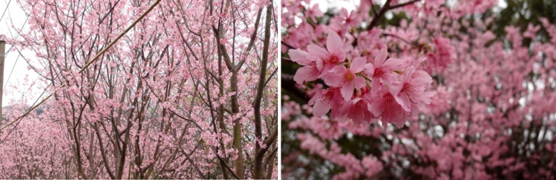 cherry blossoms taiwan 2019