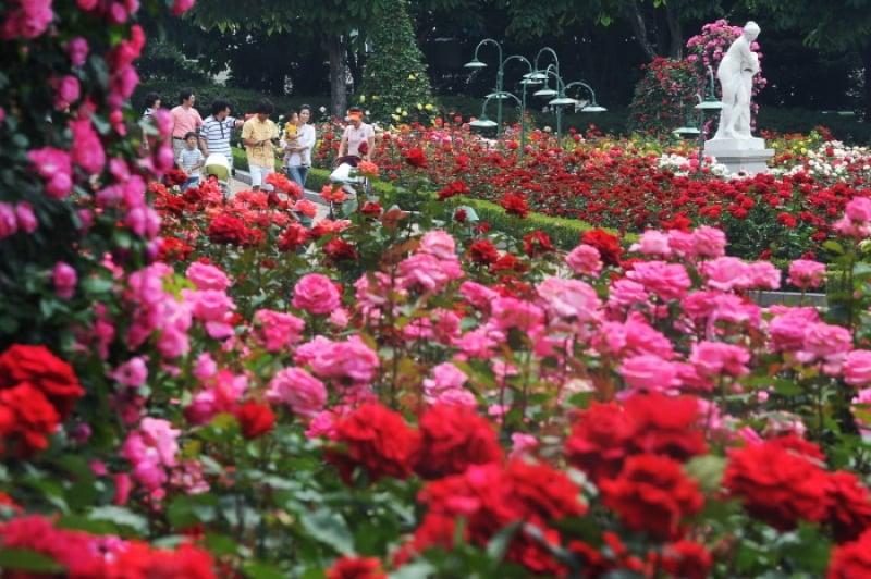 roses everland