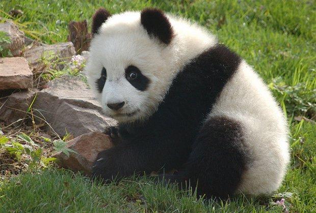 Gấu Trúc chengdu Du Lịch Bụi Châu Á