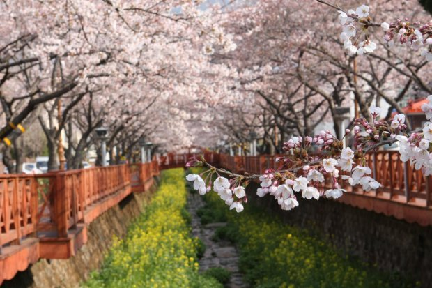 Korea Cherry Blossom Season Forecast For 2015